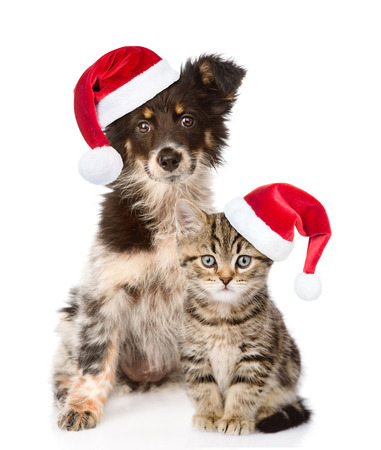 dog and Scottish kitten with red christmas hats looking at camera. isolated on white background. Stock Photo