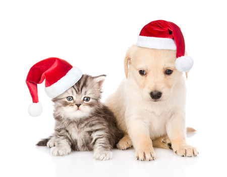 labrador christmas: Golden retriever puppy dog and tabby cat with red christmas hats sitting together. isolated on white background.