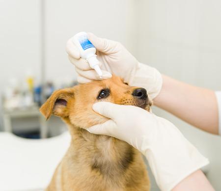 Dierenarts druppelt naar het puppy oog in de kliniek. Stockfoto