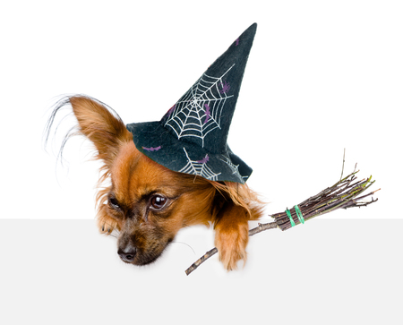 toyterrier: Dog with hat for halloween and with witches broom stick above white banner looking down. isolated on white background. Stock Photo