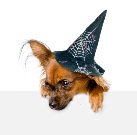 black hat: Dog with hat for halloween above white banner looking down. isolated on white background. Stock Photo