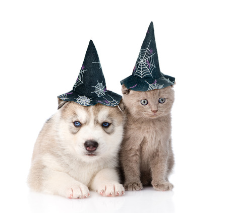 husky: scottish kitten and Siberian Husky puppy with hat for halloween. isolated on white background.