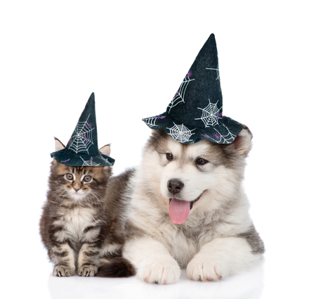 maine coon cat and alaskan malamute dog with hats for halloween. isolated on white background.