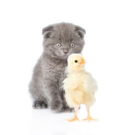 baby animal: Kitten watching baby chicken. isolated on white background. Stock Photo
