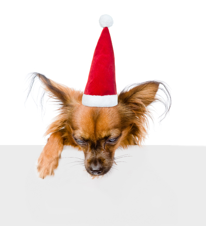 toy terrier: Russian toy terrier  in red christmas hat above white banner looking down. isolated on white background.