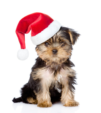 Yorkshire Terrier puppy in red santa hat looking atcamera . isolated on white background.