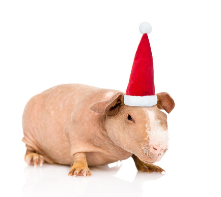 santa helper: skinny guinea pig in red christmas hat. isolated on white background.