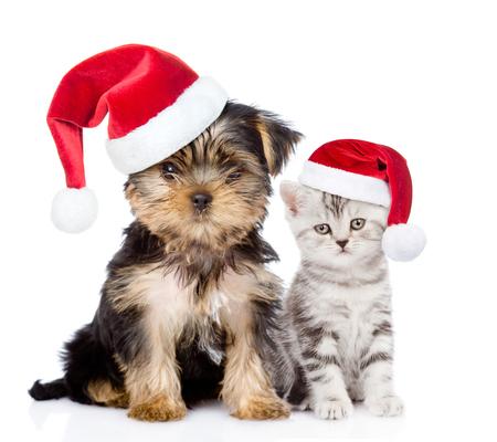 weihnachtsmann lustig: Kleines Kätzchen und Welpe im roten Weihnachtshüten zusammen sitzen. isoliert auf weißem Hintergrund.