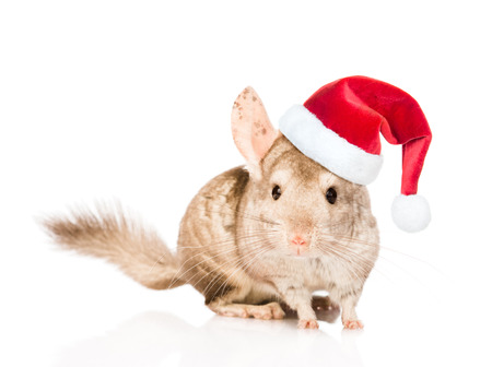 xmas background: Chinchilla in red christmas hat. isolated on white background. Stock Photo