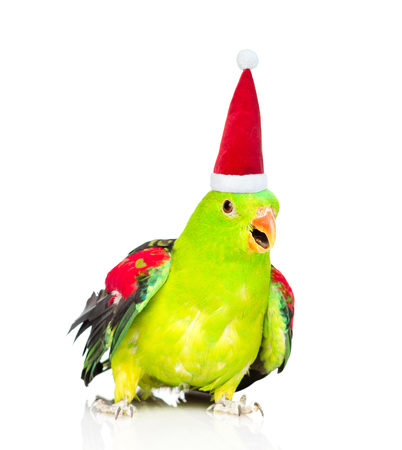 Red-Winged Parrot (Aprosmictus erythropterus)in red christmas hat. isolated on white background.