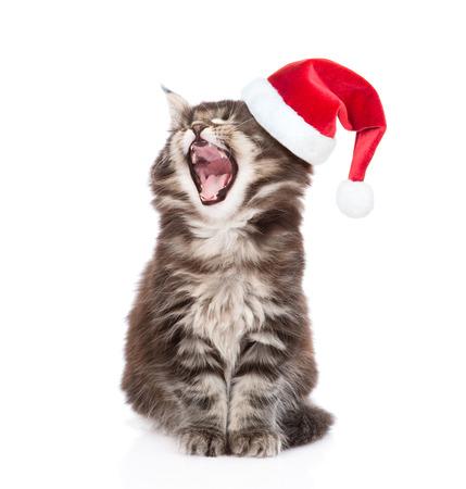 weihnachtsmann lustig: Maine Coon Katze mit offenem Mund im roten Sankt-H�te. isoliert auf wei�em Hintergrund.