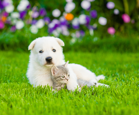 White Swiss Shepherd`s puppy embracing kitten on green grass.