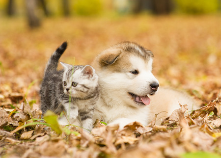 puppy and kitten: Scottish cat and alaskan malamute puppy dog together in autumn park.