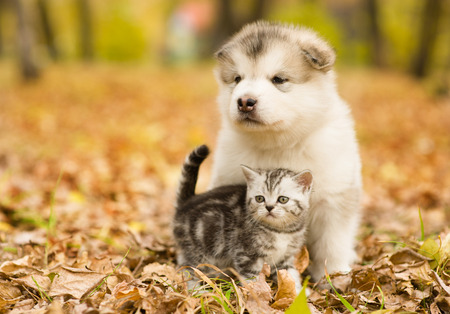 Scottish cat and alaskan malamute puppy dog together in autumn park.
