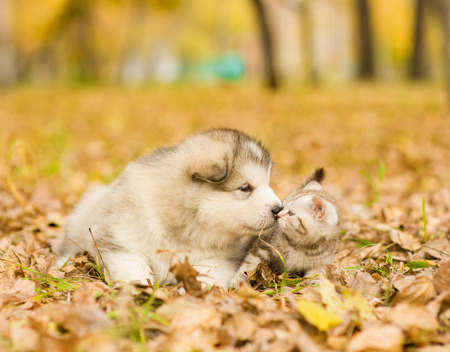 alaskan malamute puppy sniffing scottish kitten in autumn park.