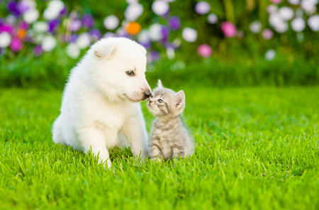 Kitten kissing White Swiss Shepherd`s puppyon green grass.