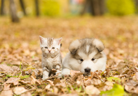 Alaskan malamute puppy and scottish kitten lying together in autumn park.