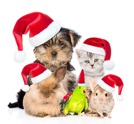 animals together: Large group of pets in red christmas hats. isolated on white background.