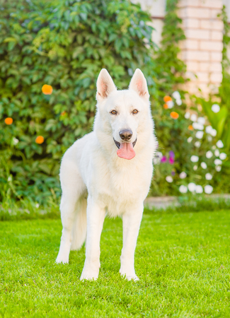 berger: Purebred White Swiss Shepherd standing in front view on the grass.