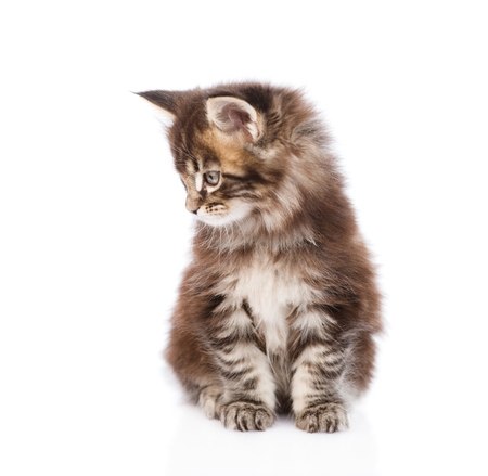 cute kitten: Small maine coon kitten looking away. isolated on white background.