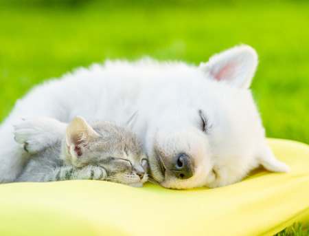 White Swiss Shepherd`s puppy sleeping with kitten on pillow.