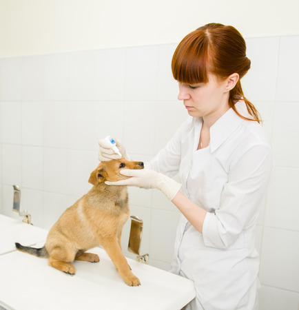 carlin: veterinarian dripping drops to the puppy eye in clinic.