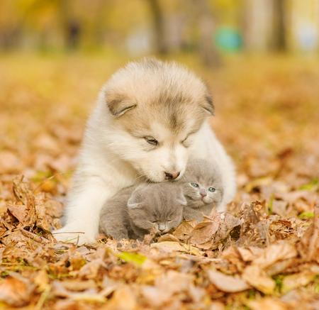 cute kittens: Alaskan malamute puppy hugging cute kittens in autumn park. Stock Photo