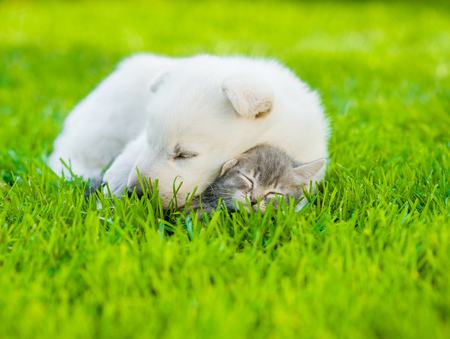 puppy and kitten: sleeping White Swiss Shepherd`s puppy hugging small kitten on green grass.