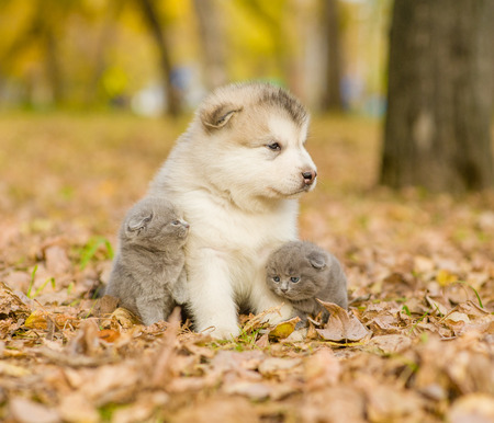 puppy and kitten: Affectionate cute kittens and alaskan malamute puppy in autumn park. Stock Photo