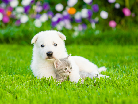 white cats: White Swiss Shepherd`s puppy hugging kitten on green grass.