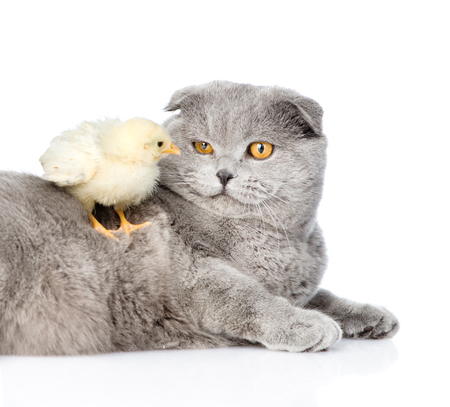 pullet: Chicken sitting on cat. isolated on white background.