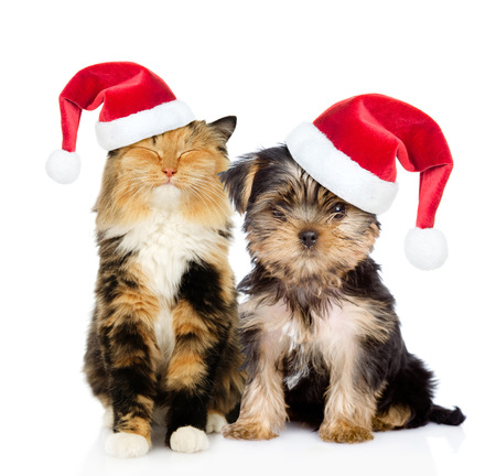 cat isolated: Happy cat and puppy in red christmas hats sitting together. isolated on white background. Stock Photo
