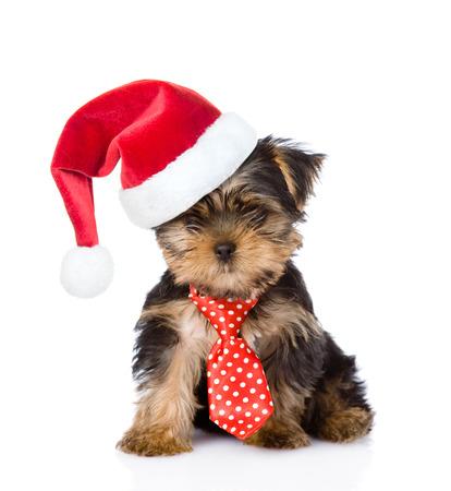 perros graciosos: Cachorro de Yorkshire Terrier con el lazo y en el sombrero de navidad. aislado en el fondo blanco. Foto de archivo