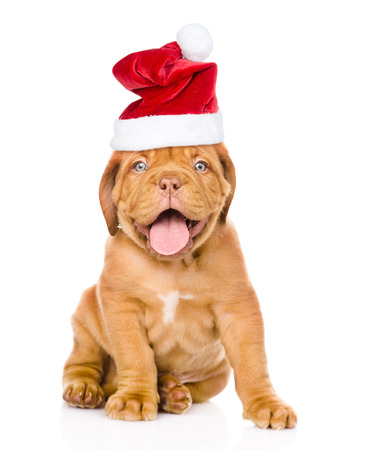 Bordeaux puppy dog  in red  christmas hat  sitting in front. isolated on white background.