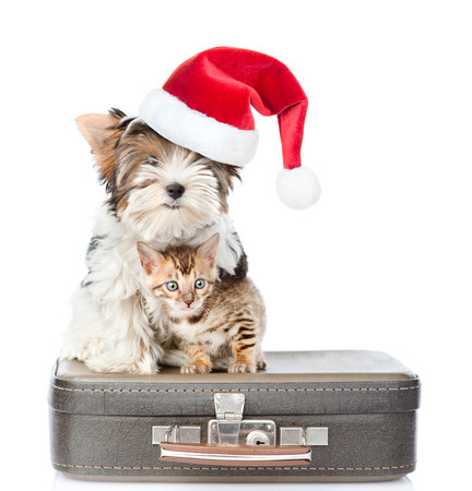 small dog: Biewer-Yorkshire terrier in red christmas hat and bengal cat sitting on a bag. isolated on white background.