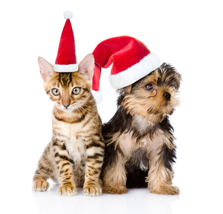 group of pets: Little kitten and puppy sitting in red christmas hats. isolated on white background.