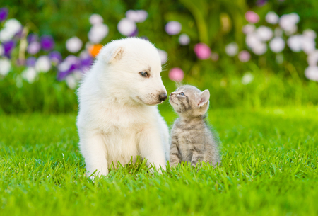 cat: Kitten kissing White Swiss Shepherd`s puppy on green grass.