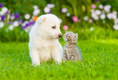 hound dog: Kitten kissing White Swiss Shepherd`s puppy on green grass.