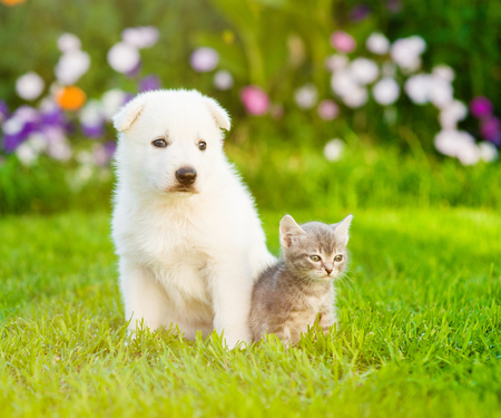 PUPPIES: White Swiss Shepherd`s puppy sitting with tiny kitten on green grass. Stock Photo
