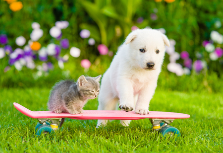 White Swiss Shepherd`s puppy and tabby kitten on skateboard.