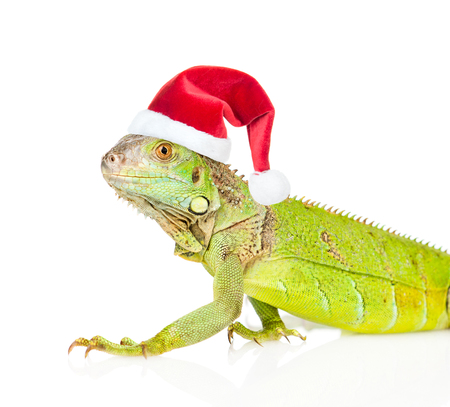 Closeup green agama  in red christmas hat. isolated on white background.