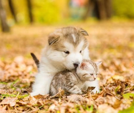 malamute: Alaskan malamute puppy hugging cute tabby  kitten in autumn park.