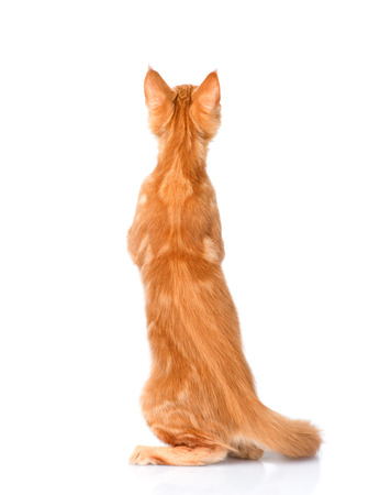 maine coon cat standing in back view. isolated on white background.