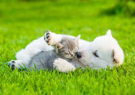 kitten small white: White Swiss Shepherd`s puppy playing with tiny kitten on green grass.