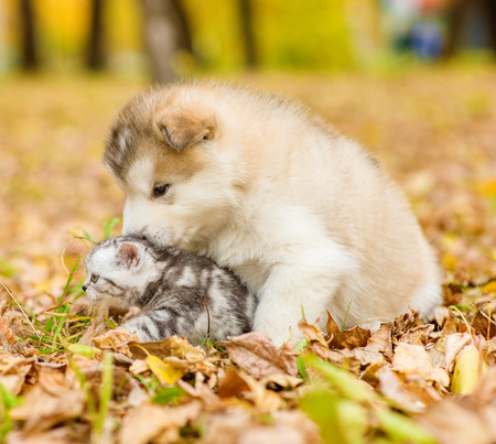 alaskan: Alaskan malamute puppy playing with a kitten in autumn park.