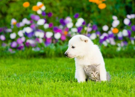 white cats: White Swiss Shepherd`s puppy embracing kitten on green grass.