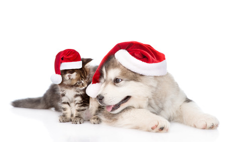 christmas hat: maine coon kitten and alaskan malamute puppy in red santa hats. isolated on white background.