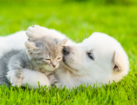 White Swiss Shepherd`s puppy playing with tiny kitten on green grass.