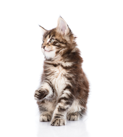 maine coon: playful maine coon kitten looking away. isolated on white background.