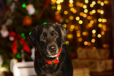 Chocolate Labrador against a background of Christmas tree.